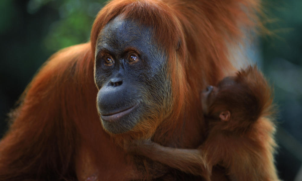 Male And Female Orangutan