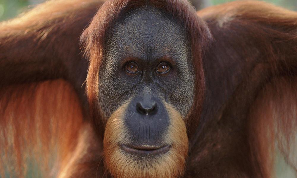 Sumatran Orangutan | Photos | WWF
