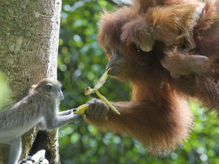 Long tailed macaque and Sumatran orangutan