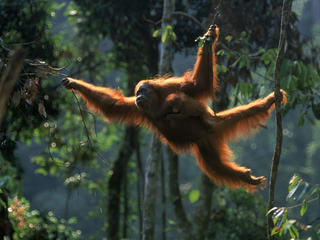 Sumatran Orangutan 