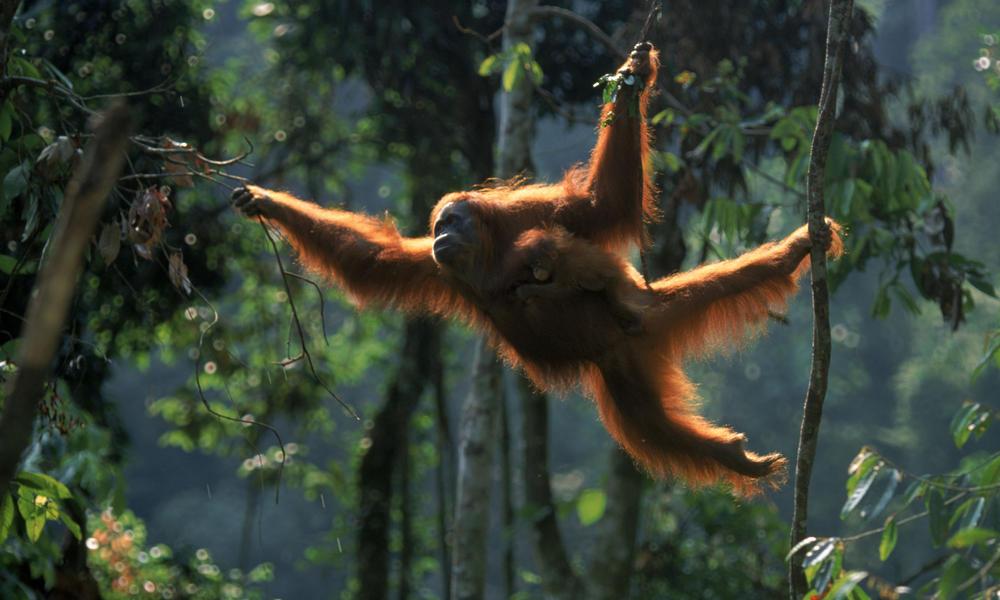 Orangutan Sumatera Sumatran Orangutan
