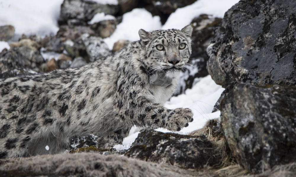 Nepal Successfully Collars Four Snow Leopards In Four Years