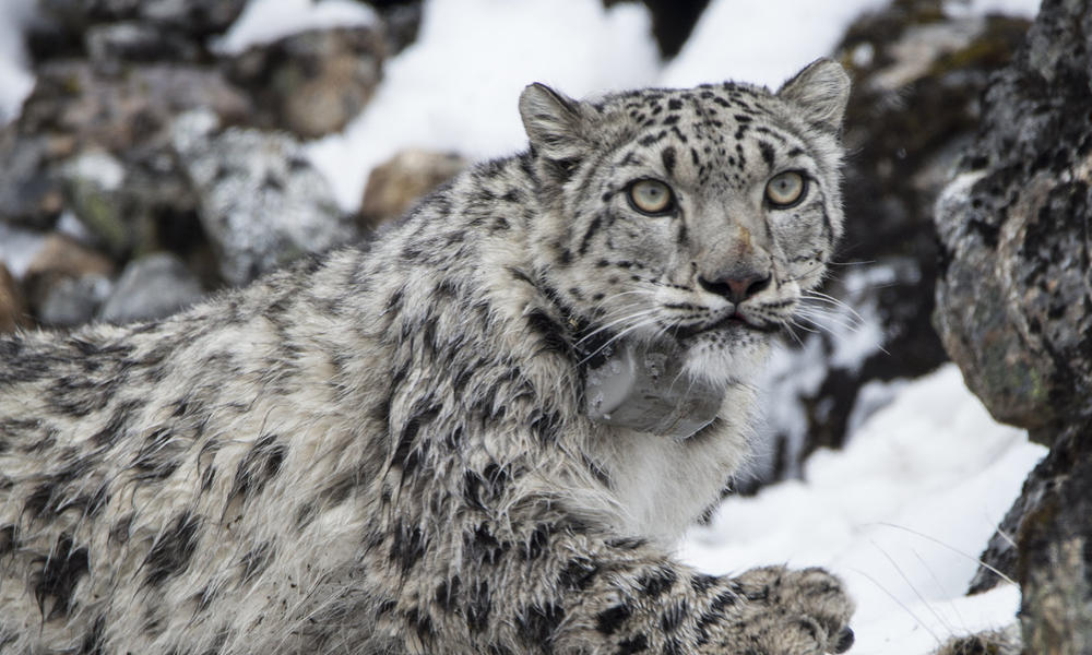 Nepal introduces a climate-smart plan to protect snow leopards