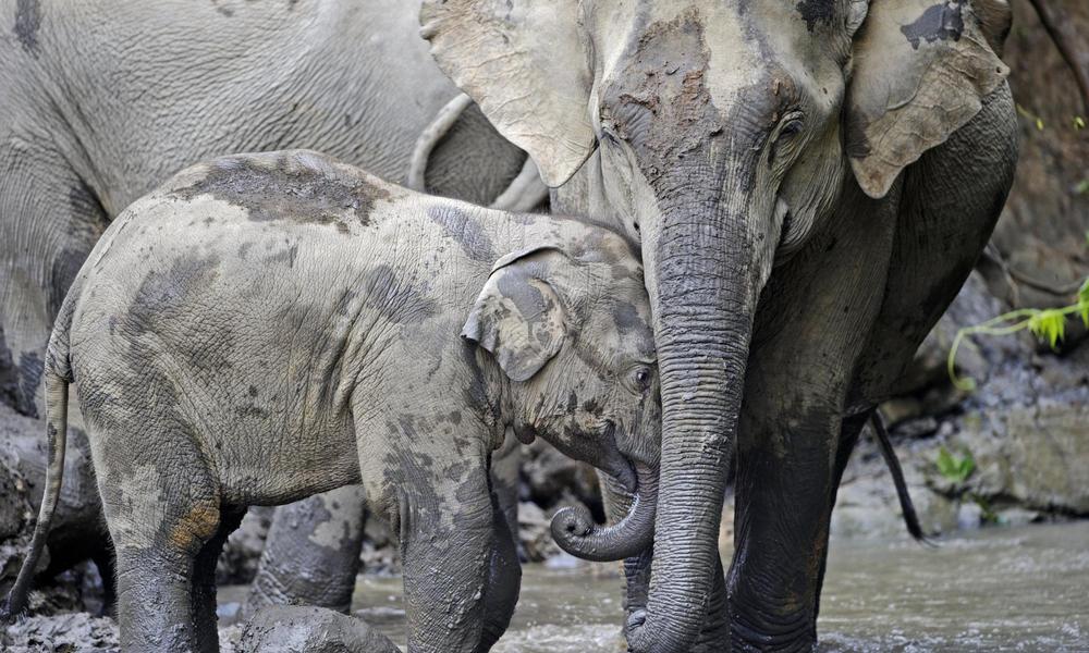 In A Disturbing New Trend Poachers Are Killing Myanmars Elephants