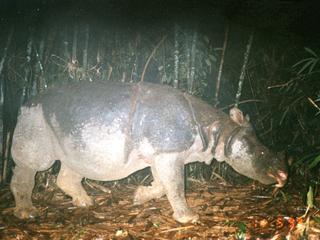 Javan Rhino 