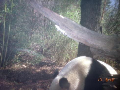 A passing panda