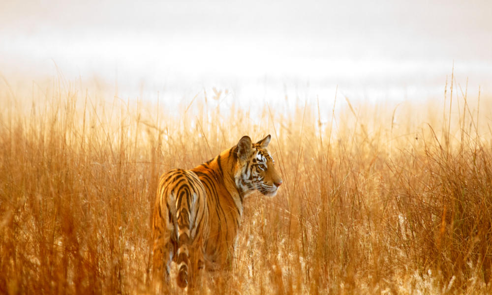 Where do tigers live? And other tiger facts