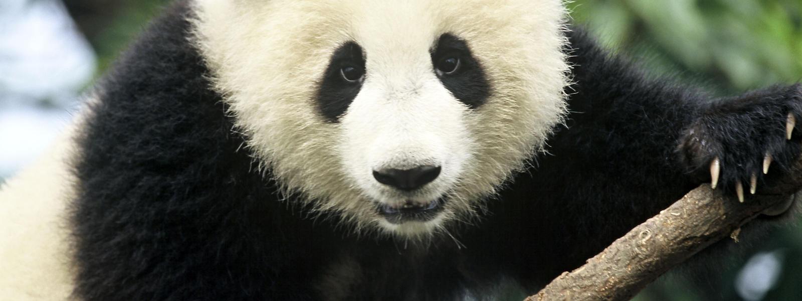 Giant_Panda_Hero_image_(c)_Michel_Gunther_WWF_Canon.jpg?1345515244