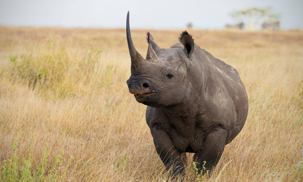 WWF is saving black rhinos by moving them | Stories | WWF