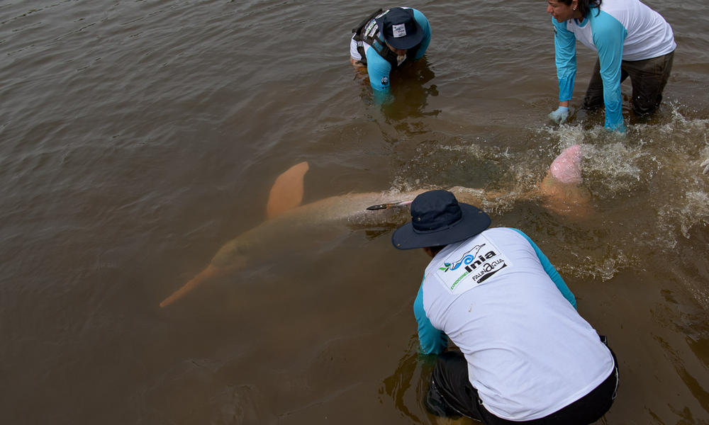 Tagging river dolphins for the first time: WWF and partners boost conservation efforts in the Amazon