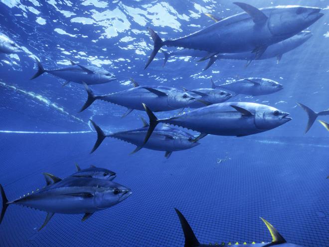 Yellowfin Tuna | Speci...