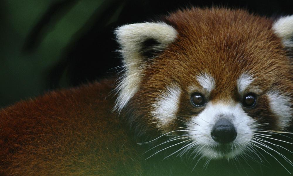 panda species wwf story xl