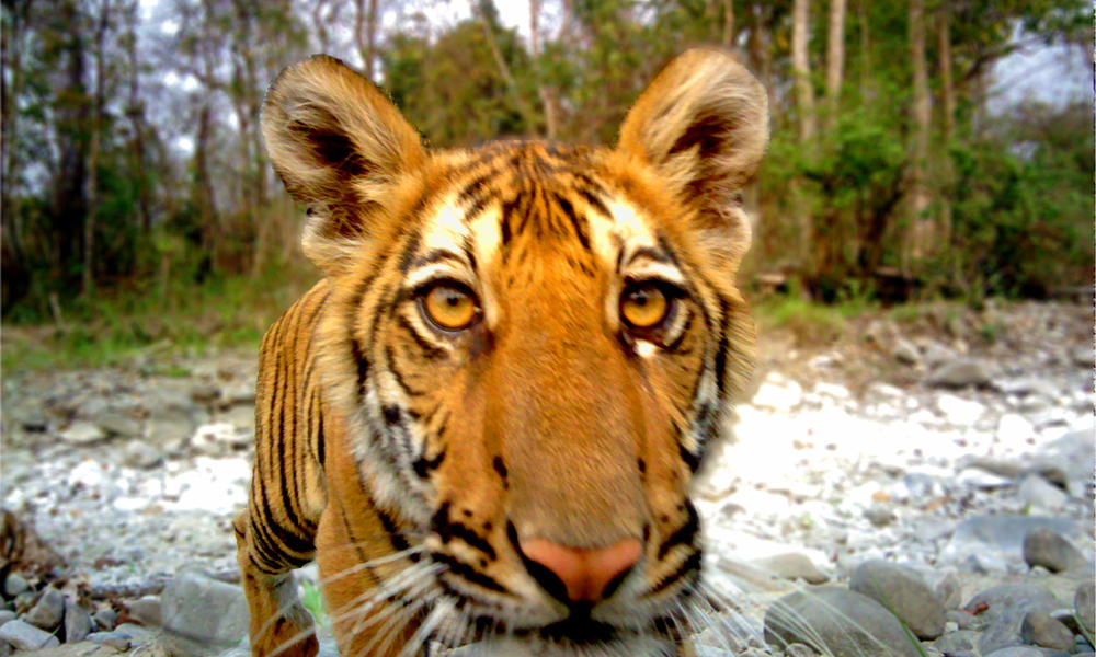 doubling tigers in bhutan s royal manas national park stories wwf