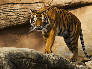 Stalking tiger