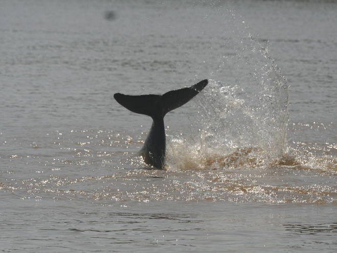 Irrawaddy Dolphin 