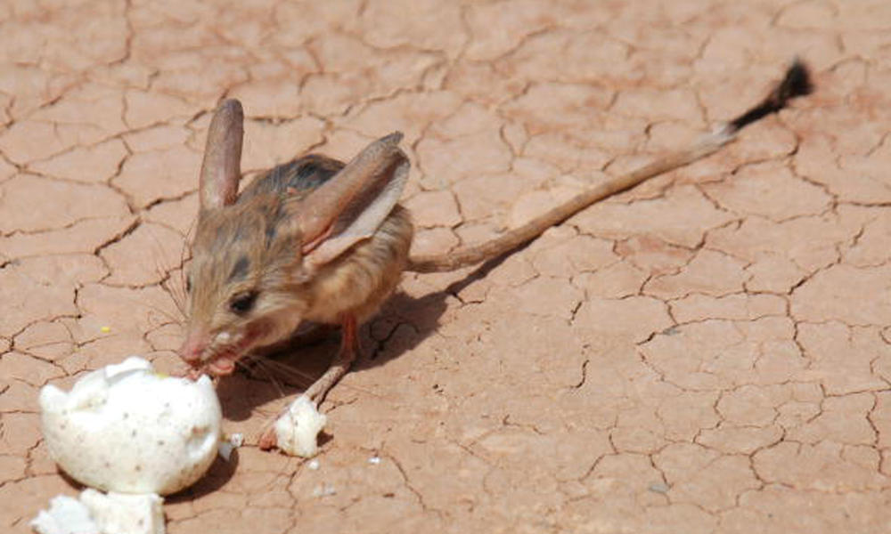 The long-eared jerboa stands—and hops—in a class of its own