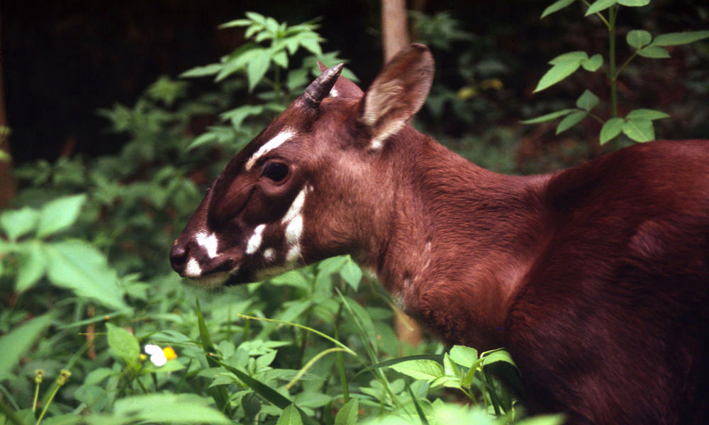 Lg saola hero image %28c%29 david hulse wwf canon