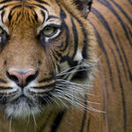 Close-up of a Sumatran Tiger