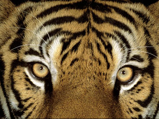 Tigers are Mighty But Vulnerable