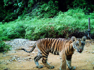 Camera trap image of Sumatran tiger cub, Riau, Indonesia