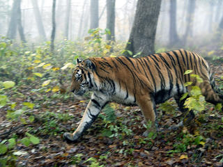 Amur TIger