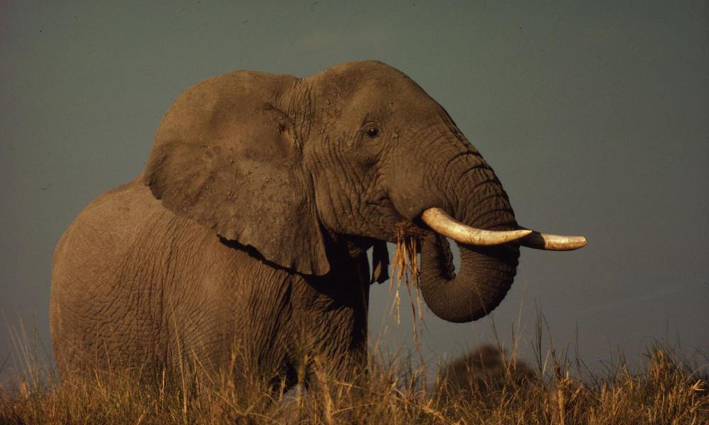 African Savanna Elephant, East Africa