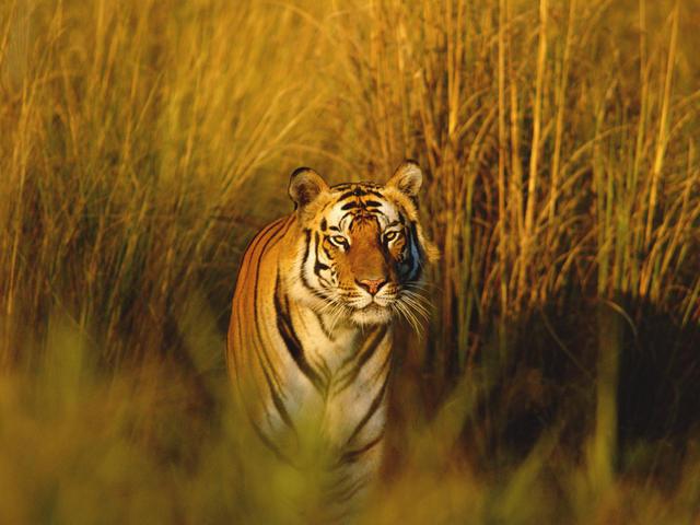 Bengal tiger natural habitat bengal tiger
