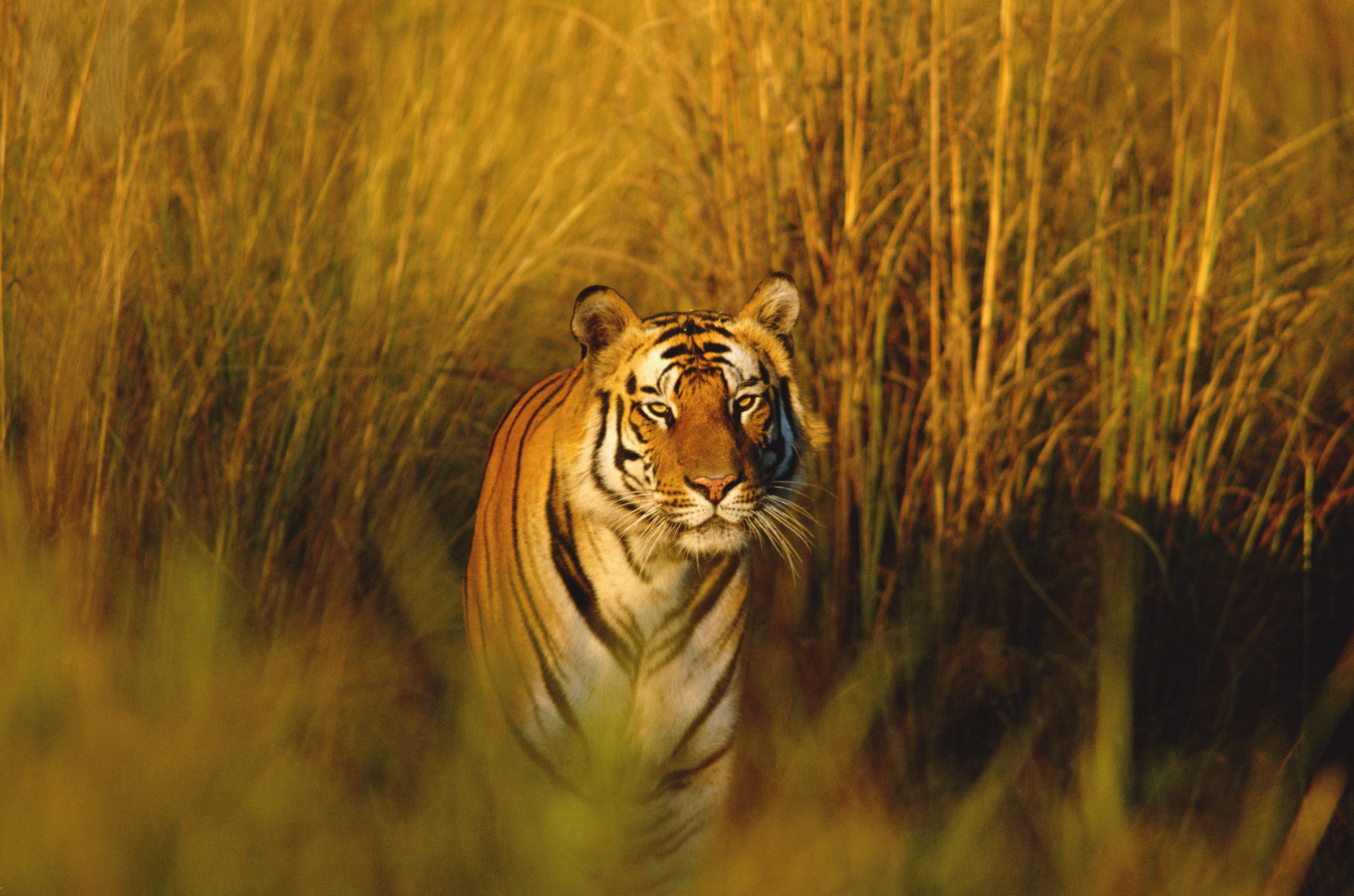 bengal tiger species wwf. Black Bedroom Furniture Sets. Home Design Ideas