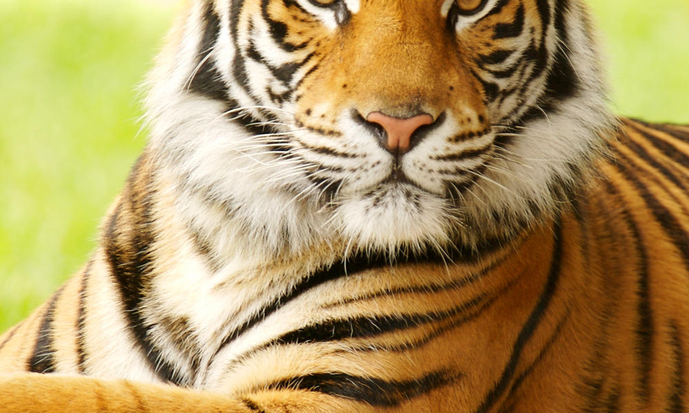 Bengal Tiger 