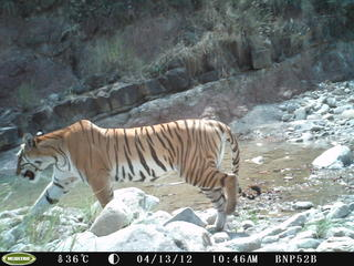 Tiger Nepal Camera Trap