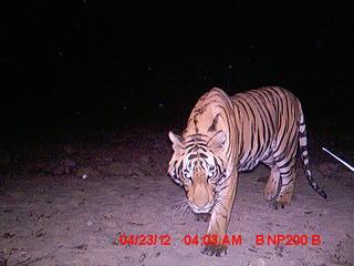 tiger_8.9.2012_Nepal_Camera_7