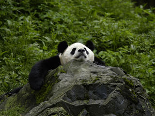 Giant panda, china