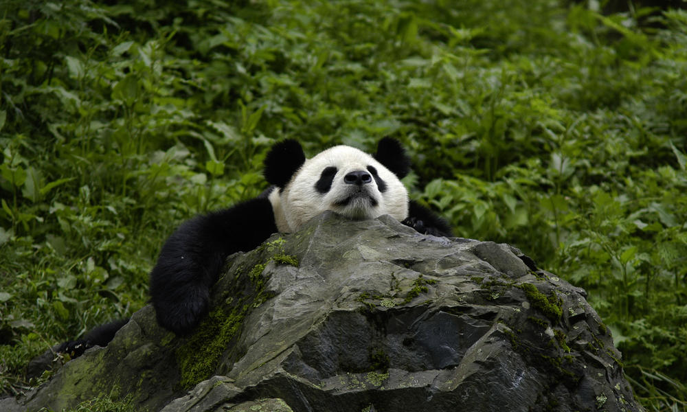 world wildlife pandas