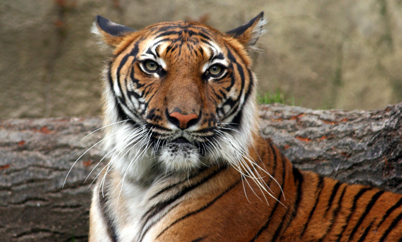 Siberian Tiger Vs Bear Indochinese tiger