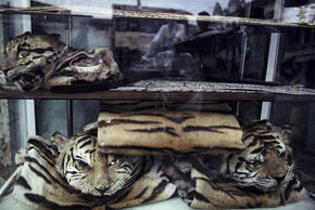 Indochinese Tiger Poaching