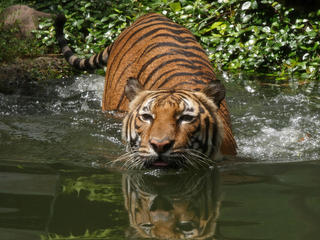Indochinese Tiger 