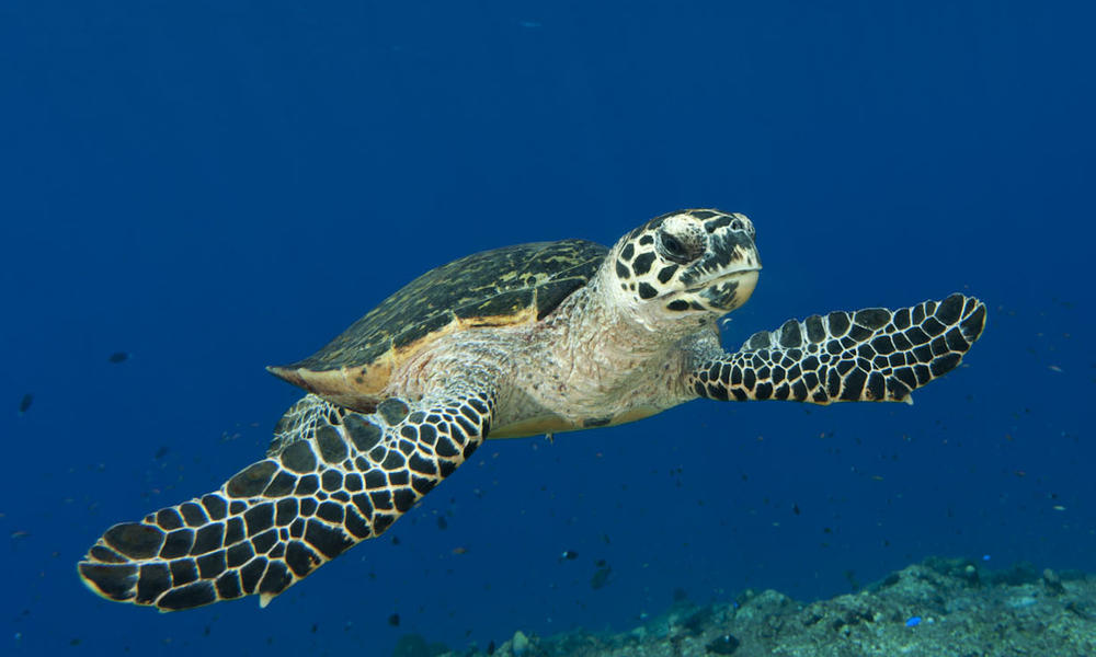 Hawksbill turtle (Eretmochelys imbricata) swimming through a reef. Kimbe Bay, West New Britain, Papua New Guinea. 31 May 2010