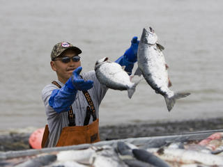 Commercial setnetters pick sockeye salmon from their setnets 