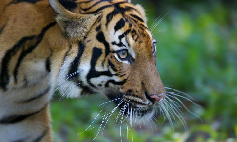 Malaysia's tigers on the brink of extinction