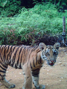 WWF on TV: Support WWF with a monthly gift to help protect tigers and other species