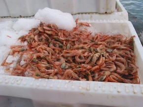 Shrimp, Greenland