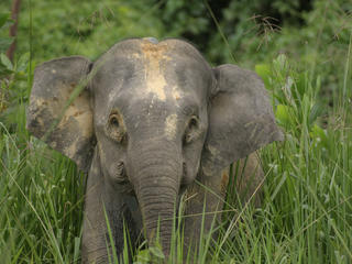 Bornean Pygmy Elephant