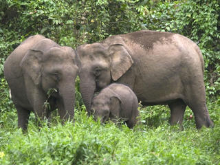 Bornean Pygmy elephant family