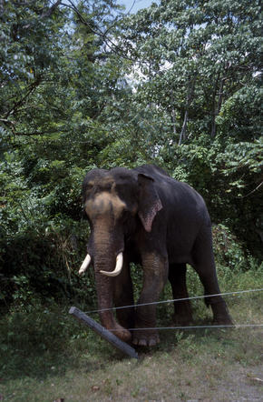 Indian elephant 