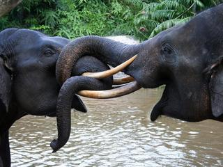 Sumatran Elephants