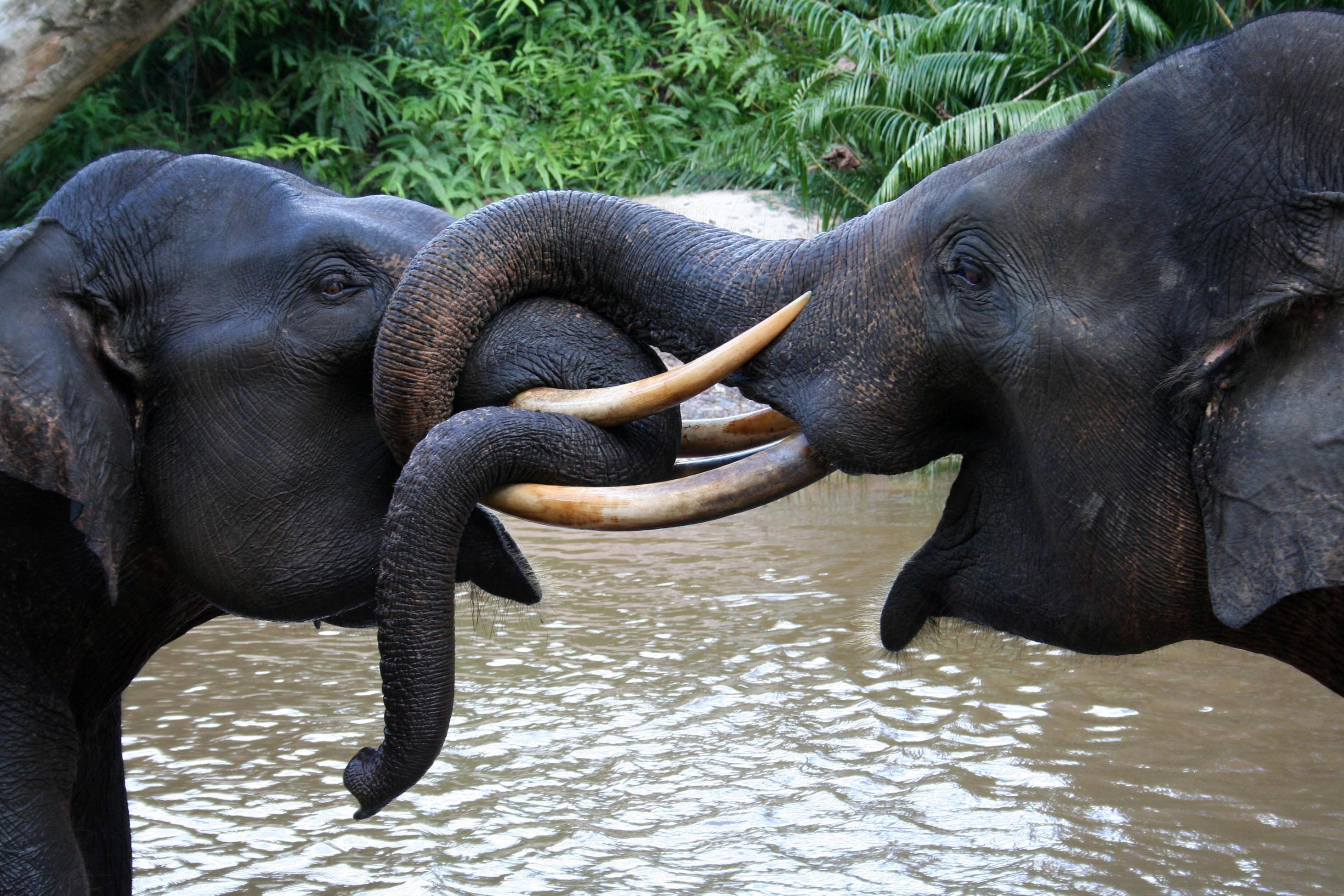 Sumatran Elephant Found Dead with Missing Tusks ... |Sumatran Elephant Endangered