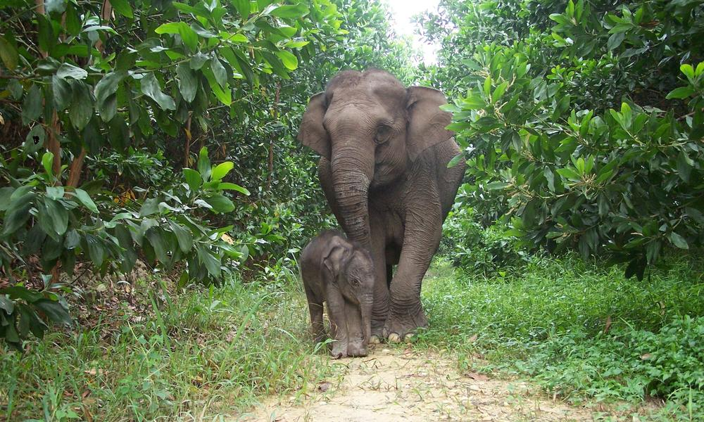 Sumatran Elephant Calf