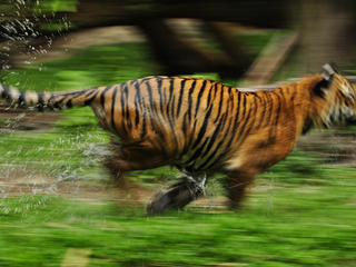 Running tiger