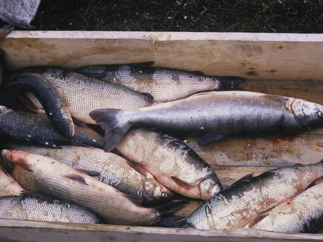 Arctic fish species, White fish