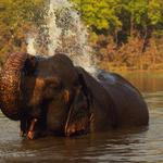 Indian elephant bathing